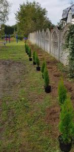 Przygotowane do sadzenia tuje przy ogrodzeniu.
